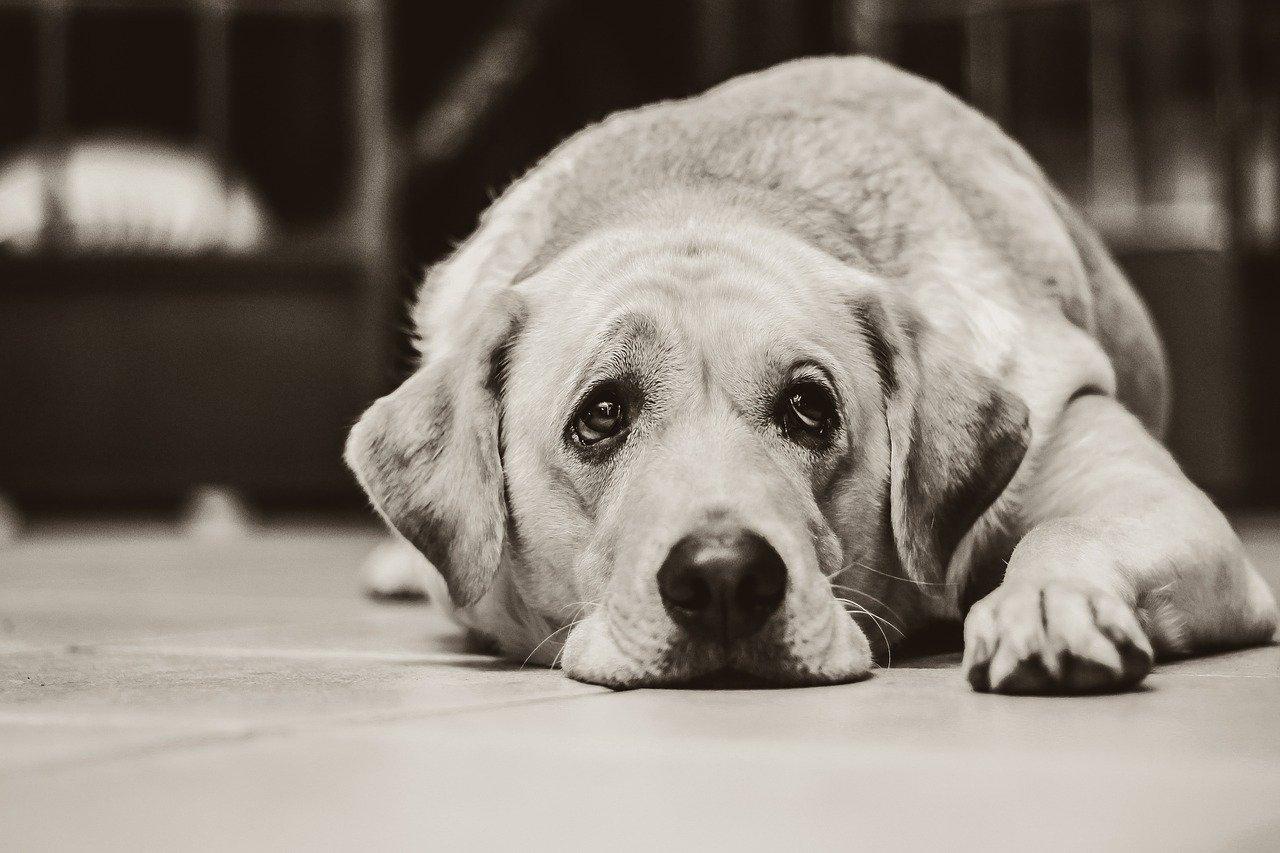 dog, labrador, black and white