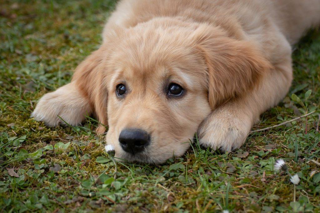 dog, puppy, golden retriver